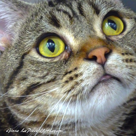 猫のいる風景 近所のアメショちゃん_b0133053_00290286.jpg
