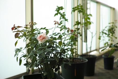 猛暑の中、健気に開花 -オリビア ローズ オースチン・シンデレラ-_c0334705_01105598.jpg