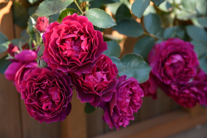 今さらですが、薔薇の魅力_b0137969_06013668.jpg