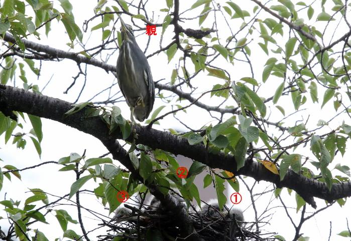 ササゴイ 巣の中から3羽の雛が姿を見せる(経過観察)_f0239515_1810067.jpg