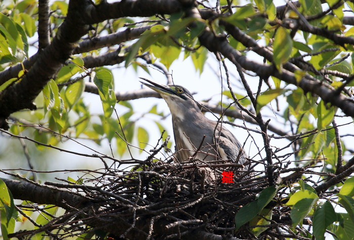 ササゴイ 巣の中から3羽の雛が姿を見せる(経過観察)_f0239515_184979.jpg