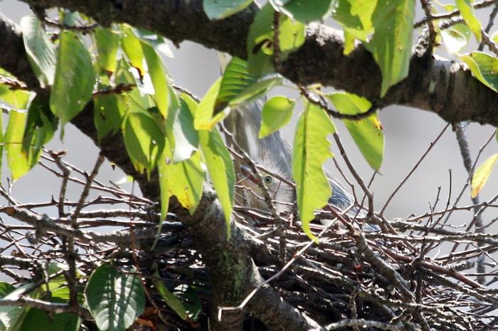 ササゴイ 巣の中から3羽の雛が姿を見せる(経過観察)_f0239515_185294.jpg