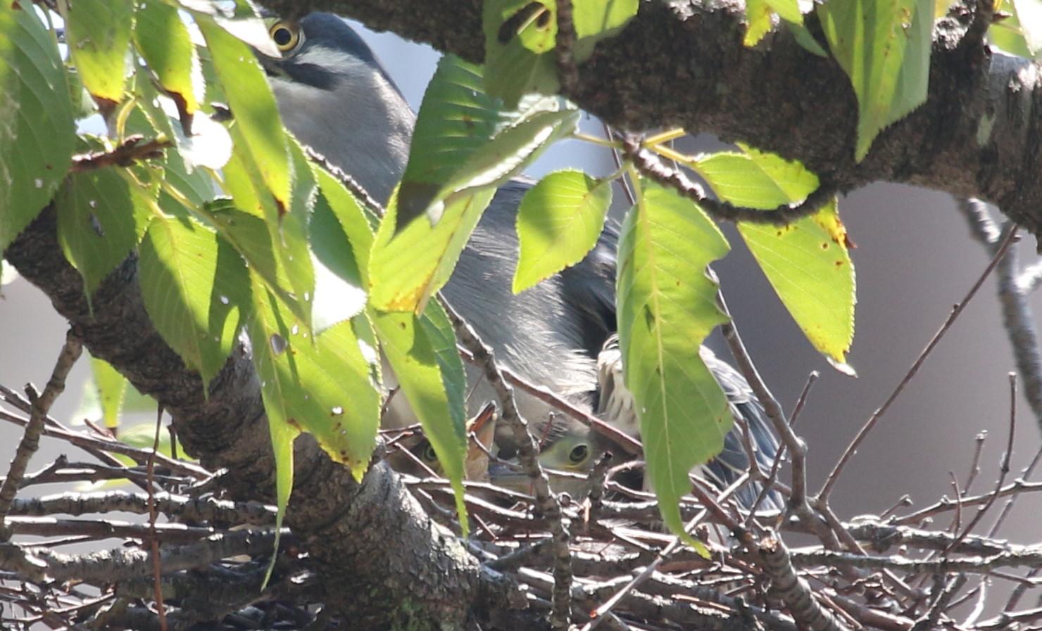 ササゴイ 巣の中から3羽の雛が姿を見せる(経過観察)_f0239515_186873.jpg