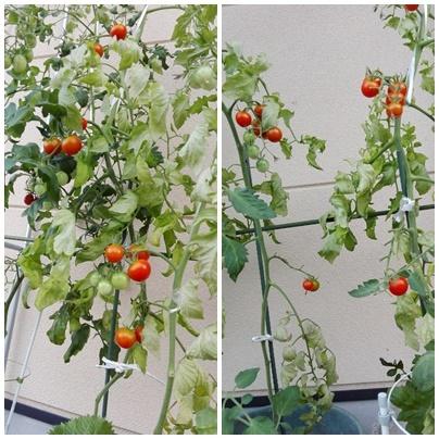 おやつはトマト!!_a0199979_19124059.jpg