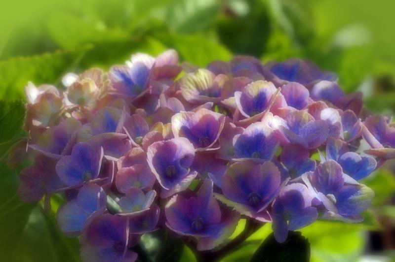 紫陽花_d0162994_08322838.jpg