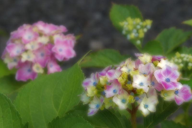 紫陽花_d0162994_08335458.jpg