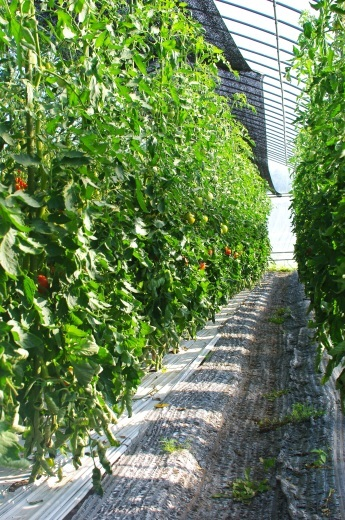 来週の野菜セット内容(予定)です。/大玉トマトの近況です。_c0110869_10432800.jpg