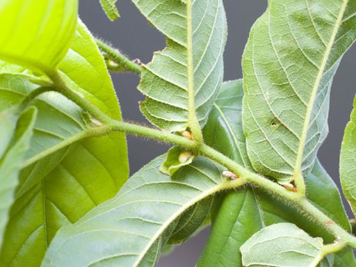 スイギュウノチチ (Uvaria rufa)の花芽か?