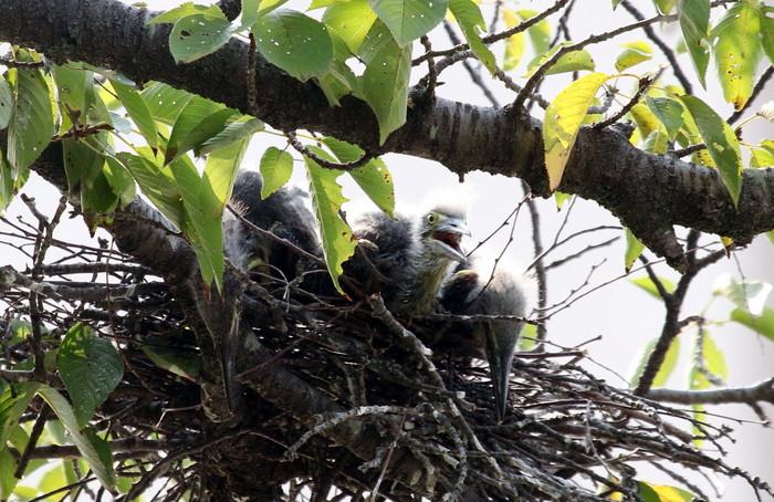 ササゴイ 巣の中から3羽の雛が姿を見せる(経過観察)_f0239515_18114262.jpg