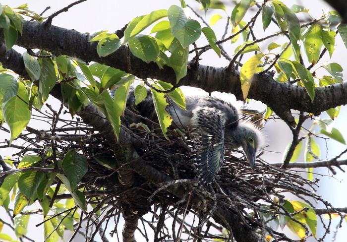 ササゴイ 巣の中から3羽の雛が姿を見せる(経過観察)_f0239515_18121874.jpg