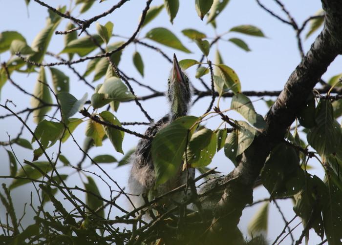 ササゴイ 巣の中から3羽の雛が姿を見せる(経過観察)_f0239515_18142338.jpg
