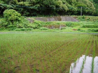 米作りへの挑戦!田植えから1ヶ月後の様子!成長に差が出てるんです・・・_a0254656_17113465.jpg