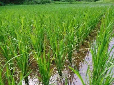 米作りへの挑戦!田植えから1ヶ月後の様子!成長に差が出てるんです・・・_a0254656_17145288.jpg