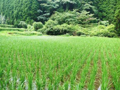 米作りへの挑戦!田植えから1ヶ月後の様子!成長に差が出てるんです・・・_a0254656_18192788.jpg