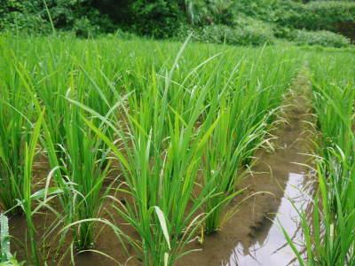米作りへの挑戦!田植えから1ヶ月後の様子!成長に差が出てるんです・・・_a0254656_18303632.jpg