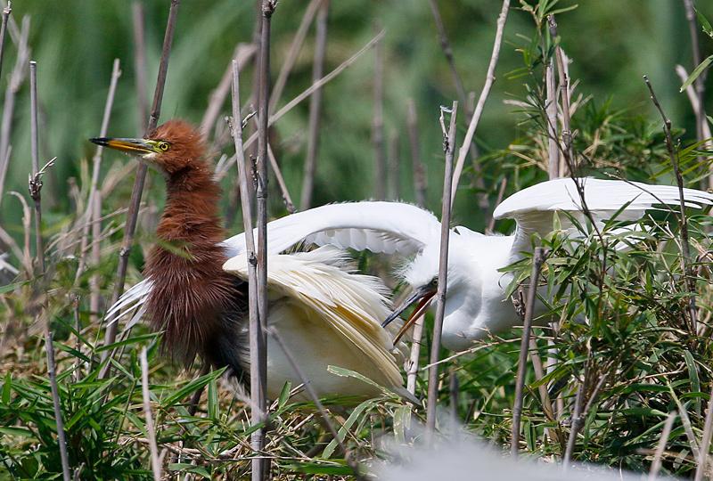 サギの幼鳥に威嚇されて・・・_f0368272_20262804.jpg