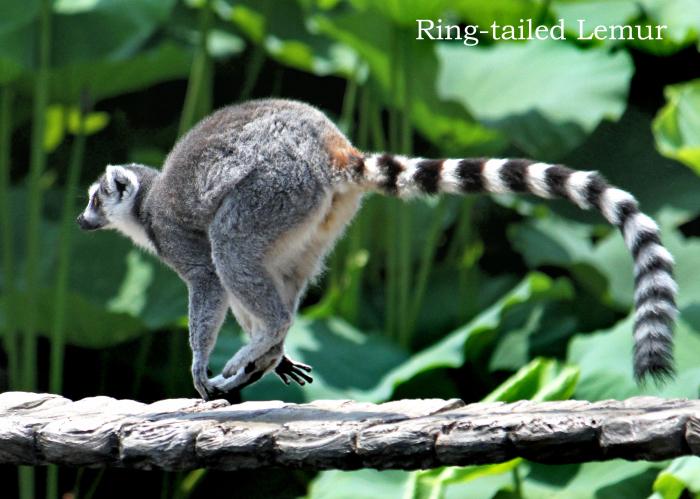 ワオキツネザル:Ring-tailed Lemur_b0249597_10105403.jpg