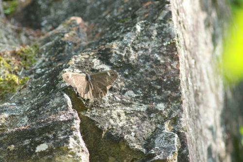 ツマジロウラジャノメ  中央アルプスで_d0353091_09212026.jpg