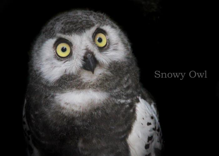 シロフクロウ:Snowy Owl_b0249597_17524606.jpg