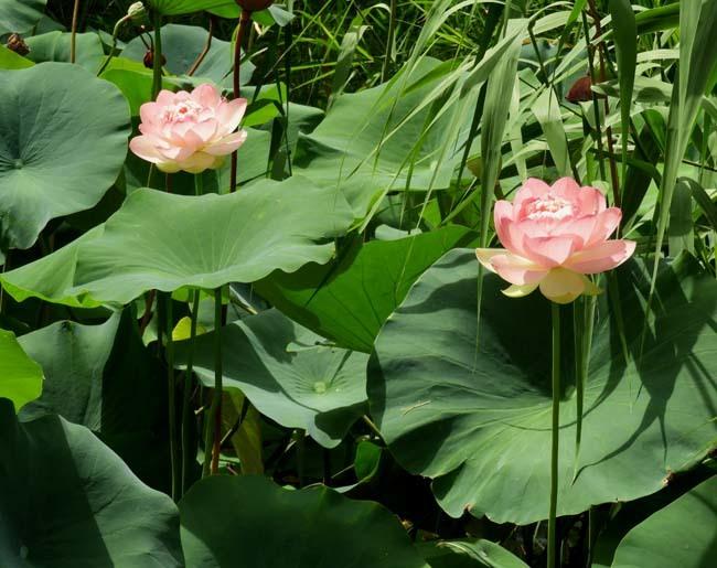 智積院の夏 蓮花咲く_e0048413_16274581.jpg