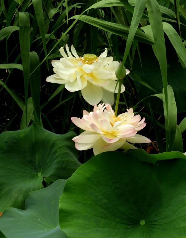 智積院の夏 蓮花咲く_e0048413_16275778.jpg
