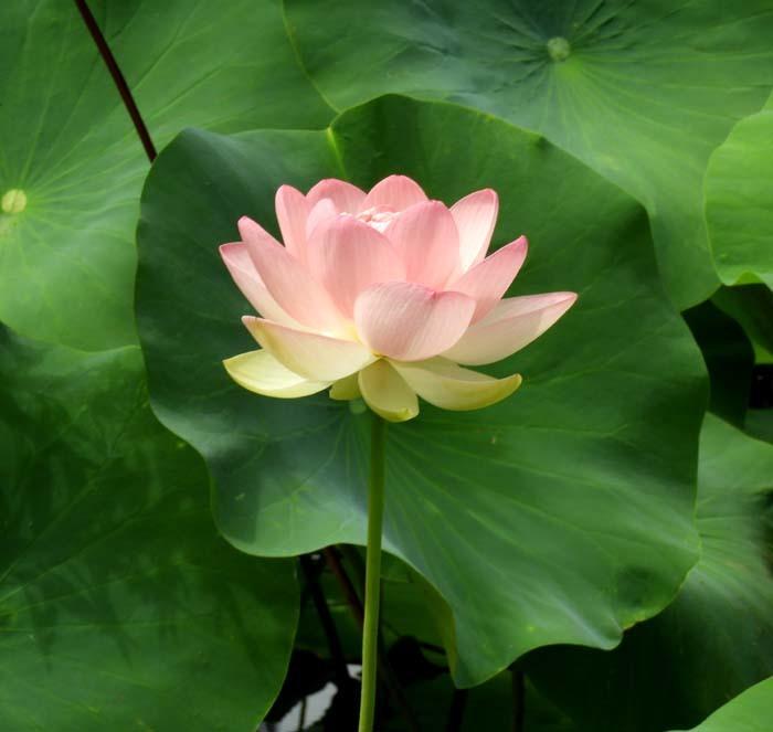 智積院の夏 蓮花咲く_e0048413_16343876.jpg
