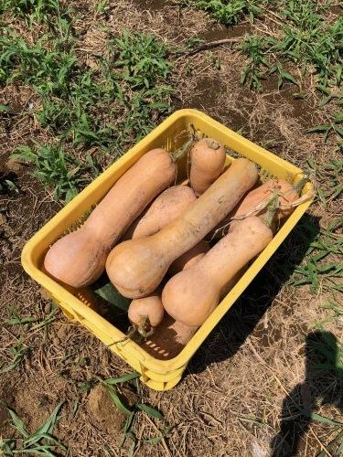 各畝の雑草取りとバターナッツ収穫始めました  _c0222448_14071117.jpg