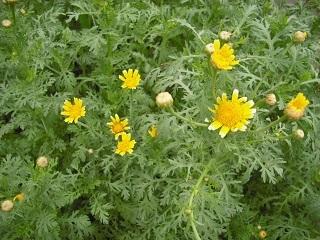 春菊の花_c0216937_11135280.jpg