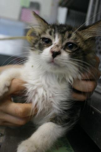 負傷収容だった子猫、梵くんです_f0242002_11220772.jpg