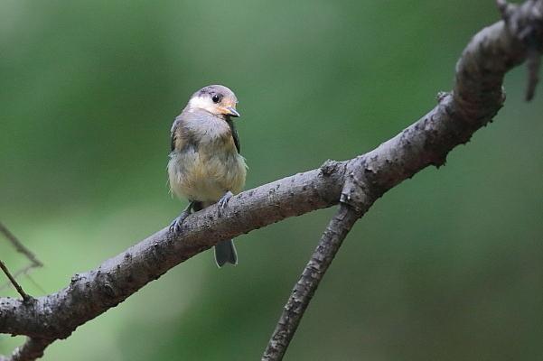カラ類の幼鳥_d0334291_16461894.jpg