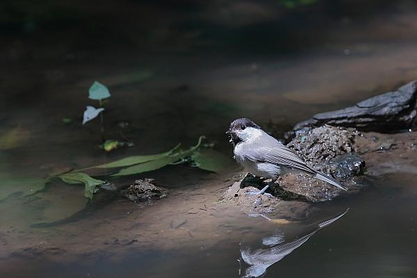 カラ類の幼鳥_d0334291_16465523.jpg