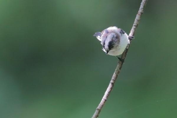 カラ類の幼鳥_d0334291_16470955.jpg