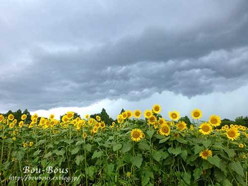 ひまわりと土砂降り雷雨と……(◎д◎)_d0128697_854410.jpg