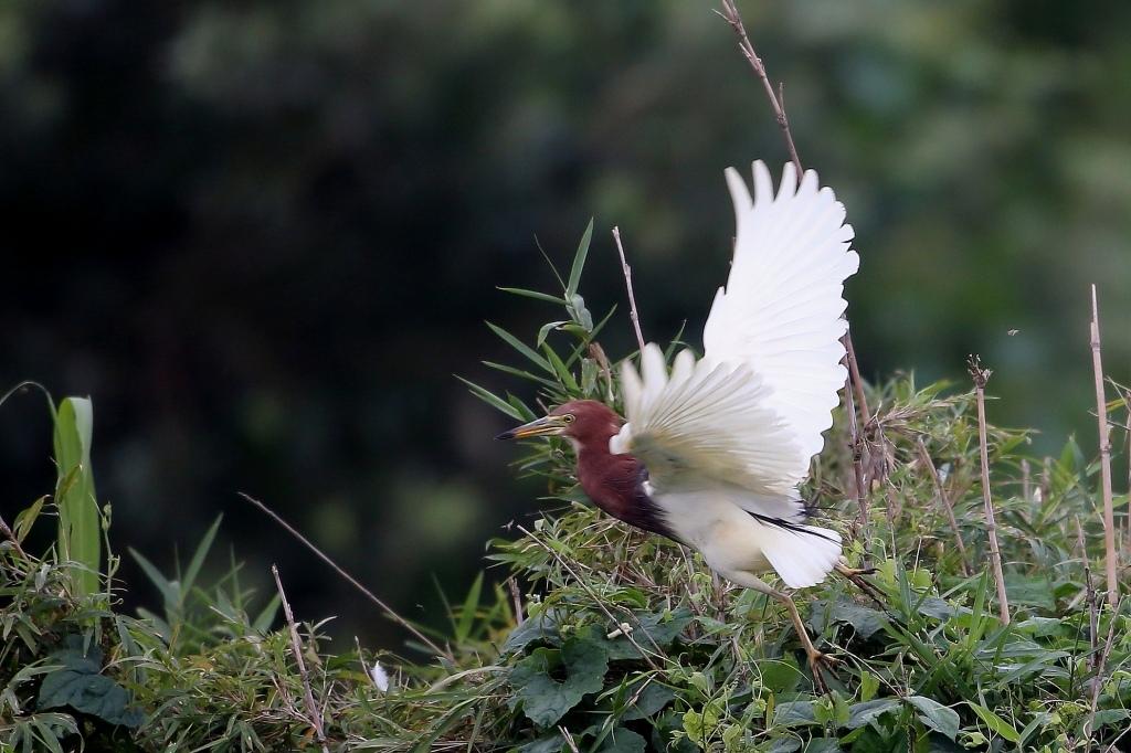 アカガシラサギの飛び出し - T/Hの野鳥写真-Ⅲ