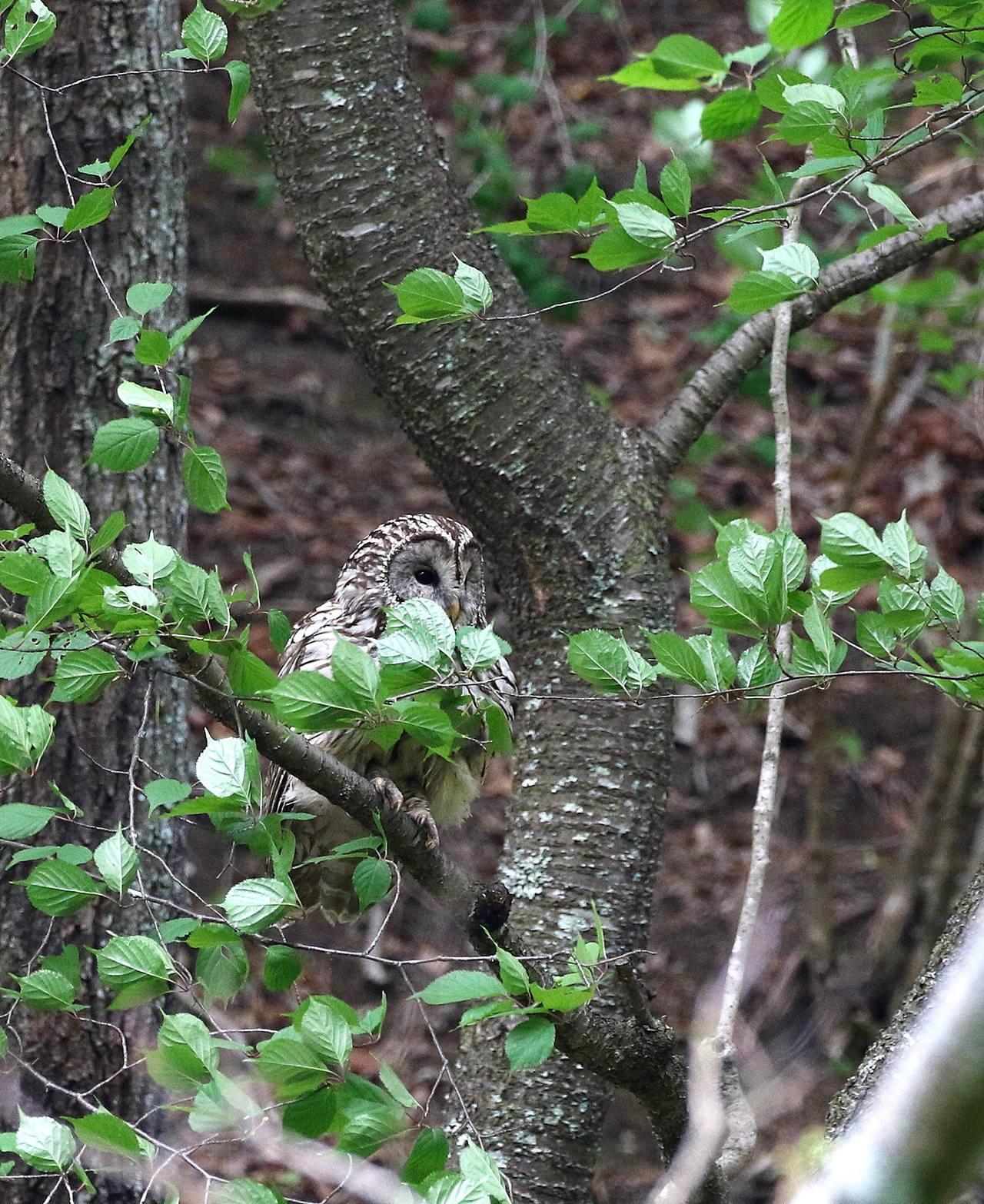 春先に出会ったフクロウを(その4)・・・_c0213607_18065491.jpg