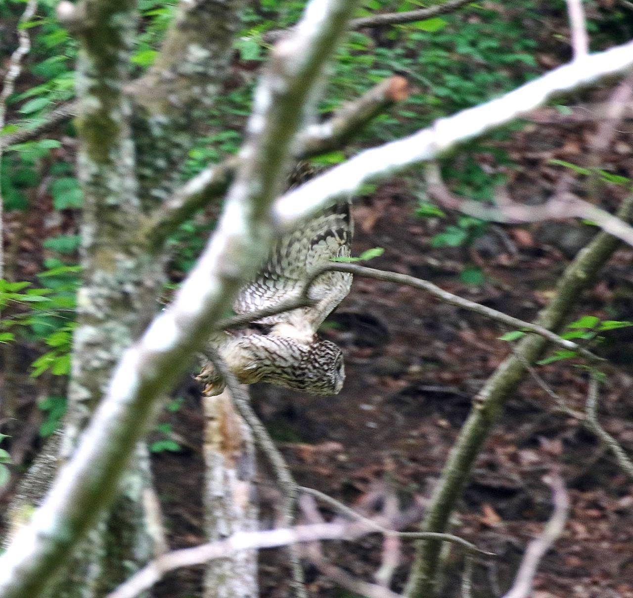 春先に出会ったフクロウを(その4)・・・_c0213607_18065814.jpg
