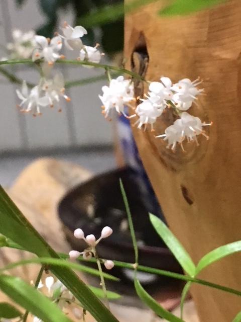 お休みのアゲルで人知れずひっそりと咲いていたアスパラの可愛い小さな花。_a0112812_22462590.jpg