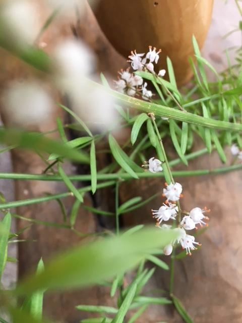 お休みのアゲルで人知れずひっそりと咲いていたアスパラの可愛い小さな花。_a0112812_22463840.jpg