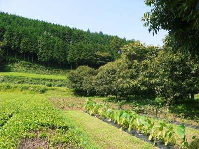 利平栗 無農薬栽培の『利平栗』 生理落果がはじまり収穫及び出荷は今年も9月中旬から!(2018)_a0254656_17374980.jpg