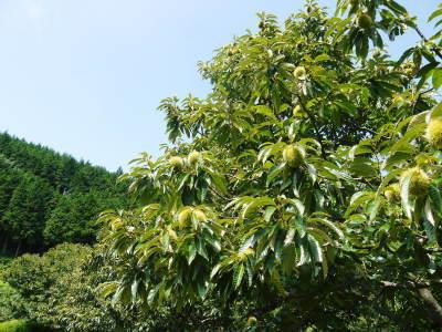 利平栗 無農薬栽培の『利平栗』 生理落果がはじまり収穫及び出荷は今年も9月中旬から!(2018)_a0254656_17391772.jpg