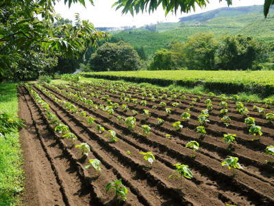 利平栗 無農薬栽培の『利平栗』 生理落果がはじまり収穫及び出荷は今年も9月中旬から!(2018)_a0254656_17432463.jpg