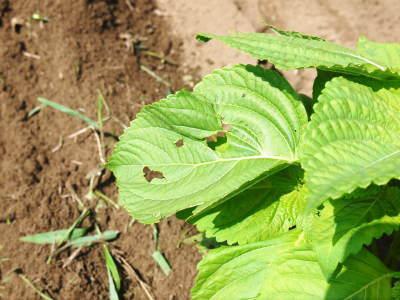 利平栗 無農薬栽培の『利平栗』 生理落果がはじまり収穫及び出荷は今年も9月中旬から!(2018)_a0254656_17442406.jpg