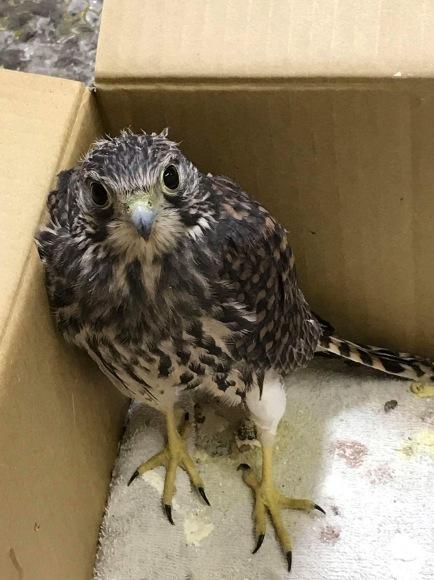 チョウゲンボウ幼鳥の保護_c0132048_15465150.jpg