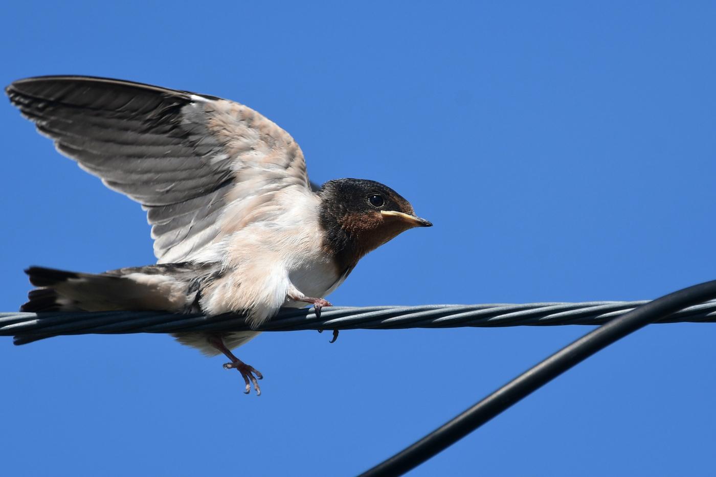 ツバメ幼鳥_f0053272_17403906.jpg