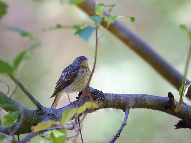 山麓の森のキビタキ幼鳥たち_a0204089_602012.jpg