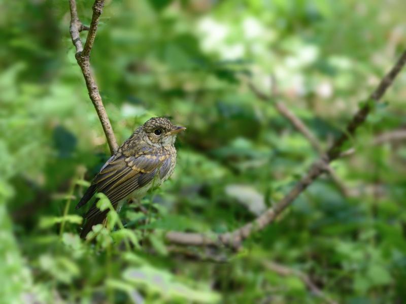 山麓の森のキビタキ幼鳥たち_a0204089_603310.jpg