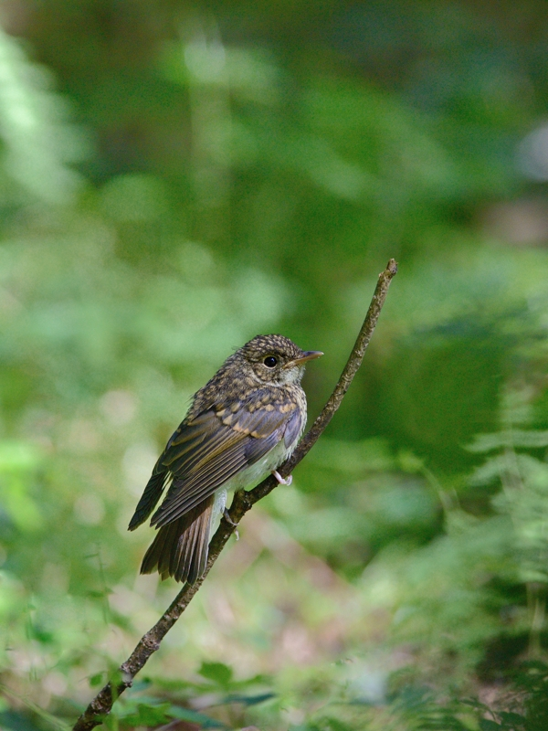 山麓の森のキビタキ幼鳥たち_a0204089_60679.jpg