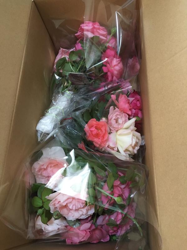 真夏の薔薇に感謝  HT  Rose 「 魅惑 」_c0195496_11513577.jpg