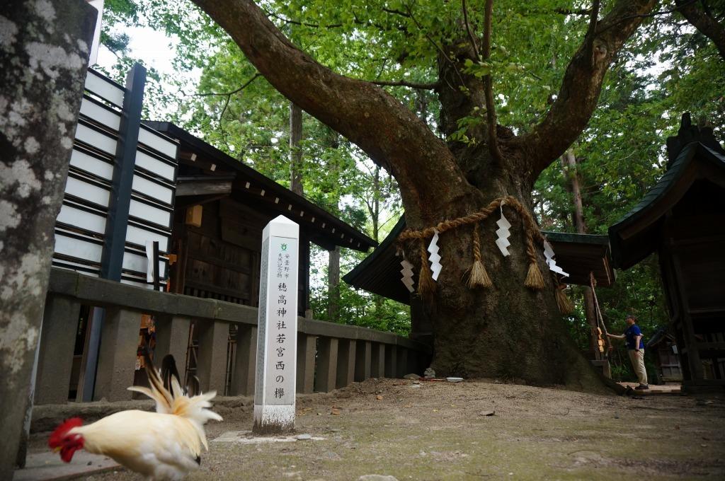 【長野】穂高神社若宮西の欅_c0348200_14370494.jpg