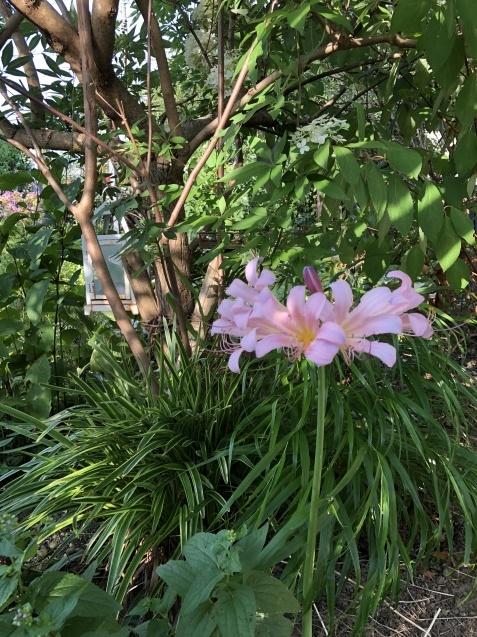 8月の庭「秋明菊、リコリス」咲きだしました_a0243064_09143957.jpg